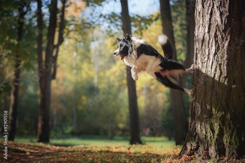 Dog breed Border Collie walking in autumn park Fototapete