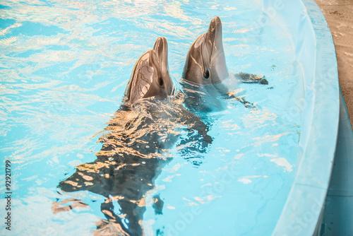 Two dolphin in basin of oceanarium