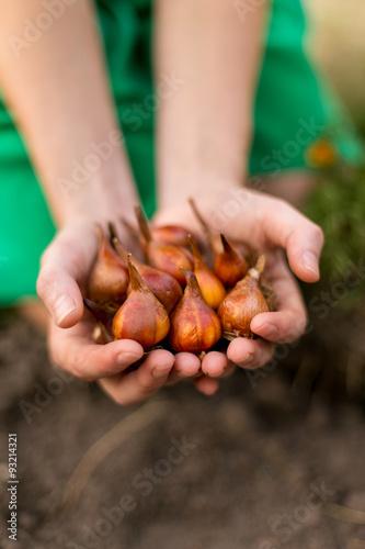 Gardener's hands holding tulip flower bulbs before planting.