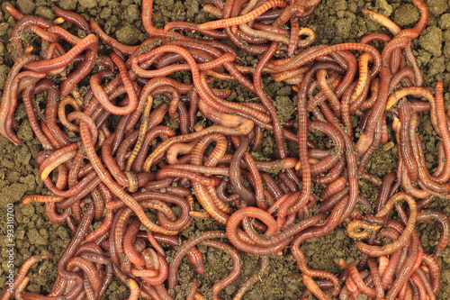 Red manure worms abstract background
