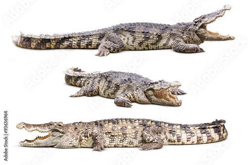 Carta da parati Crocodile isolated