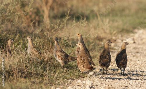 Valokuva Grey Partridges (Perdix perdix)