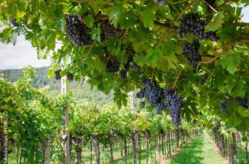 Canvas Print Vendemmia, grappoli di uva rossa per amarone in veneto a Verona