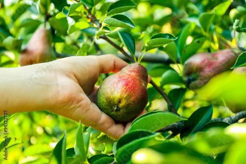 Female hand picking pear from tree Fototapeta