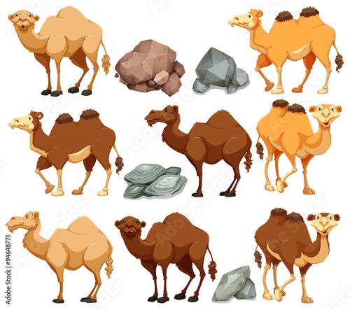 Fotografia Camel in different poses