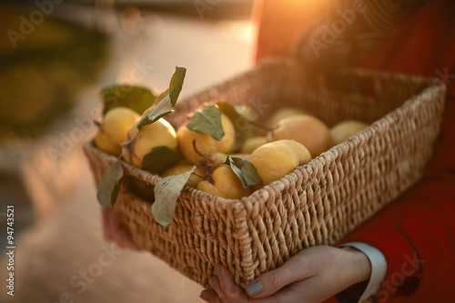 Hands holding a basket with mellow quince Poster Mural XXL