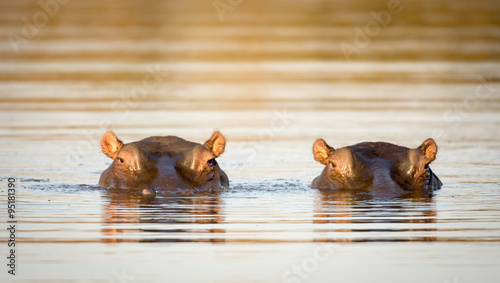 Stampa su Tela Two hippos in the water
