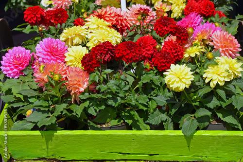 Billede på lærred Colorful dahlia flower pots