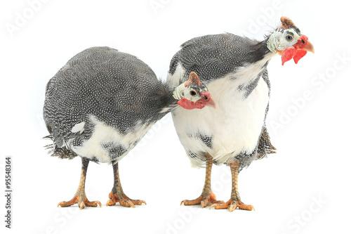 Guinea fowl Fototapet