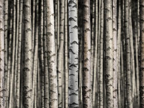 Seamless birch forest