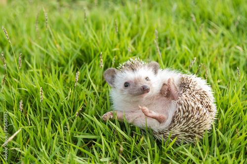 Fototapeta Hedgehog in the garden , African pygmy hedgehog