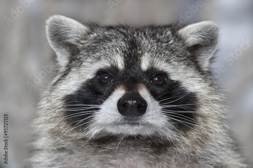 Canvas Print A macro portrait of a racoon with wet black nose.