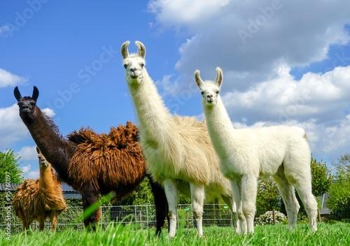 Canvas Print Drei Lamas mit Jungtier auf einer Wiese