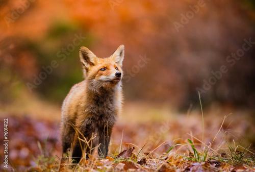 Fototapeta Fox (Vulpes vulpes) v Evropě lese