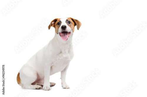 Canvas Print Young dog Jack Russell terrier with his tongue out on the white background