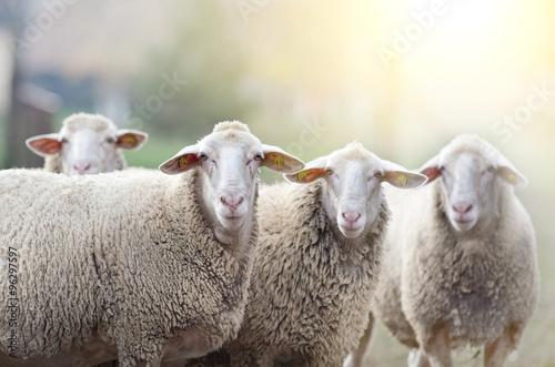 Fotografia Sheep flock standing on farmland