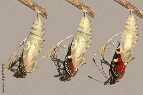 Foto Schwellen- und Metamorphose der schönen Pfau Schmetterling