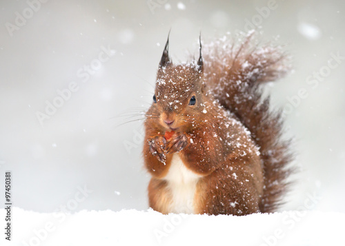 Fototapeta Cute red squirrel in the falling snow, winter in England