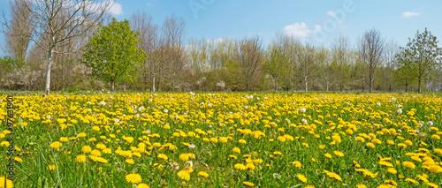 Dandelions in a field in spring #97631901