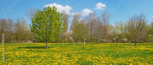 Dandelions in a field in spring #97631941