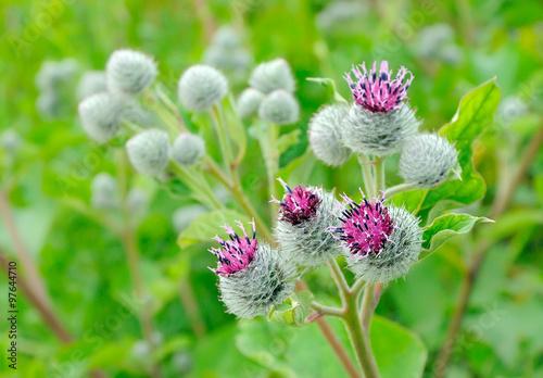 Tableau sur Toile Flowering Great Burdock (Arctium lappa), selective focus