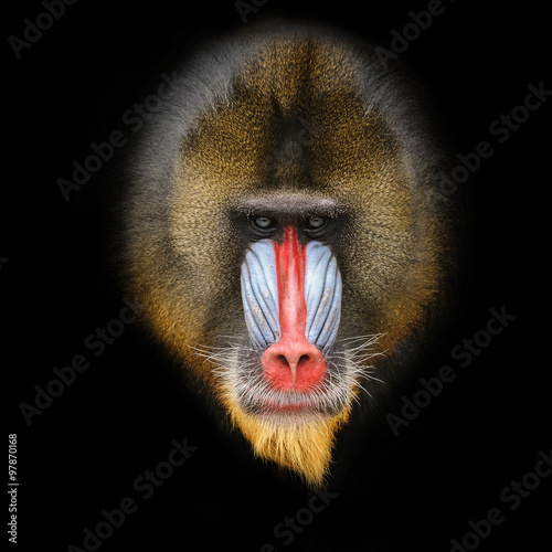 Fotografia Portrait of the adult male mandrill