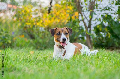 jack russell terrier Fototapeta