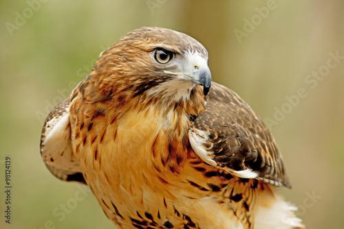 Fototapeta Hlavou střílel Červená sledoval Hawka se zeleným pozadím.
