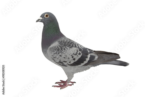 Canvas pigeon isolated on white.