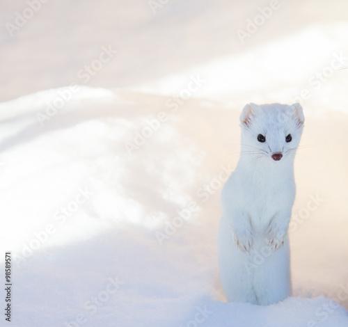 Obraz na płótnie white ermine weasel standing in deep snow
