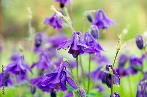 Canvas Flowers Aquilegia vulgaris on the meadow