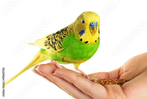 Canvas Print Budgerigar. Parrot isolated on white background.