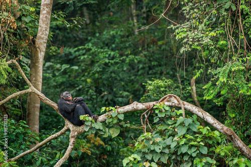 Fotografija Bonobo (Pan Paniscus) on a tree branch.