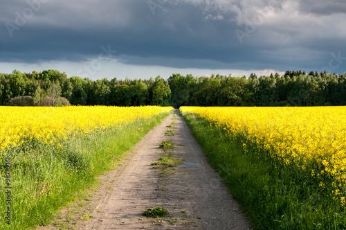 Dirt road between rapeseed fields toward the woods. Cloudy sky. #98782161