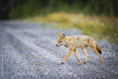 Coyote (Canis Latrans) Fototapeta