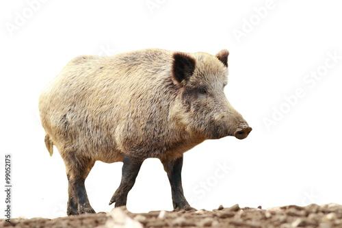 full length isolated wild boar Fototapete