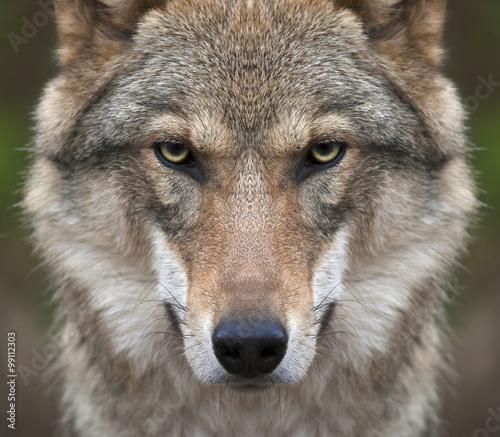 Fototapeta premium Spojrzenie prosto w twoją duszę surowej wilczycy. Groźny wyraz młodego, dwuletniego wilka europejskiego, bardzo pięknego zwierzęcia i niezwykle groźnej bestii.
