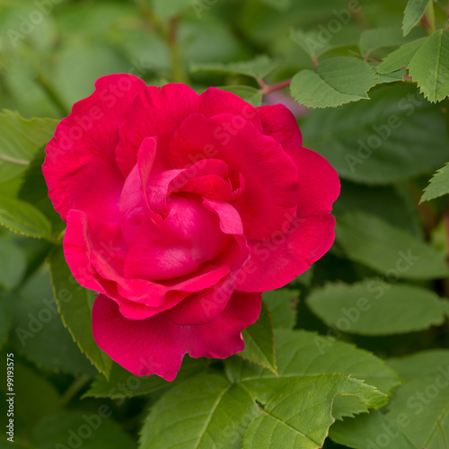 Flower pink rose. Soft focus #99193575