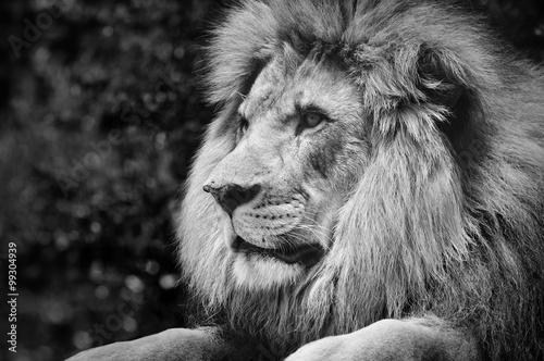 Silny kontrast czerni i bieli samca lwa w królewskiej pozie