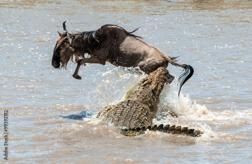The antelope Blue wildebeest ( connochaetes taurinus ), has undergone to an attack of a crocodile.