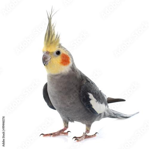 adult gray Cockatiel