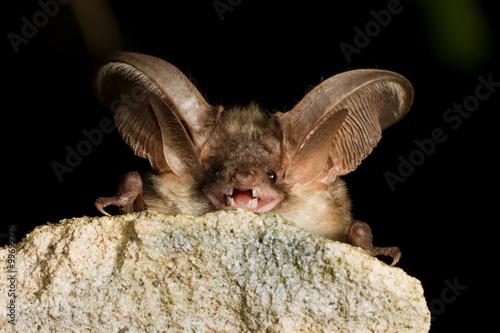 Grey long eared bat resting