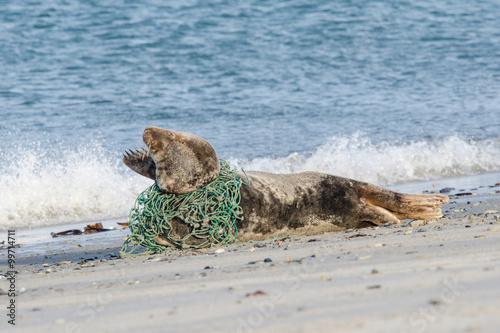 Fototapeta premium Grey seal lying on the beach trapped in a fisherman's net