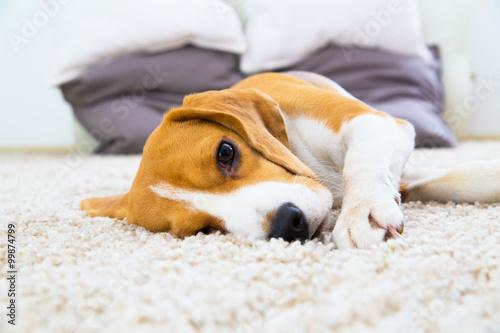 Obraz na plátně Dog relaxing on the carpet