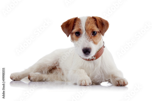 White with red a doggie of breed a Jack Russell Terrier Fototapeta