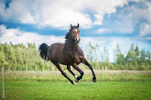 Beautiful warmblood horse running on the field in summer Fototapeta