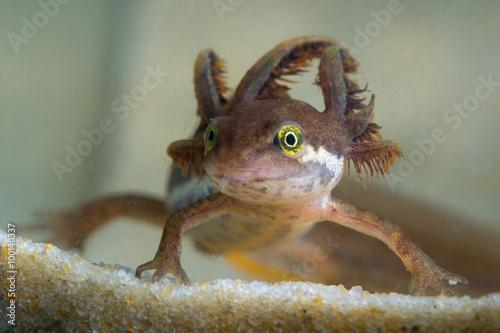 Canvas Print Common newt tadpole