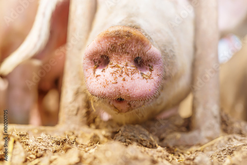Obraz na płótnie Snout of a pig, macro, close up, shallow depth of field