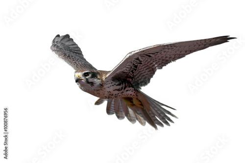 Fototapeta Prairie Falcon