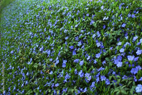 Obraz na płótnie Periwinkle floral pattern